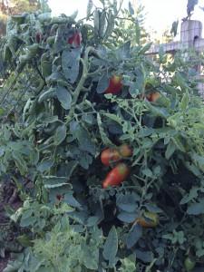 San Marzano tomatoes on the Vine